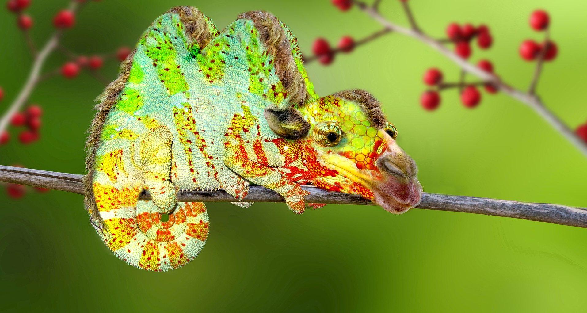 Kamel-Chameleon